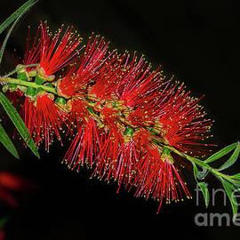 Kaye Menner - Red Bottlebrush by Kaye Menner