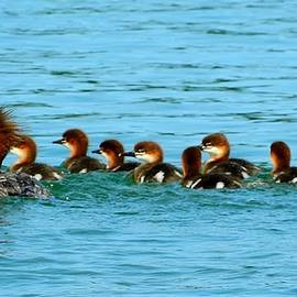 Mikel Classen - Red-Breasted Merganser Female with Babies