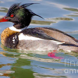 Ricky L Jones - Red-breasted Merganser