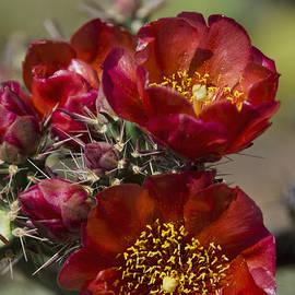 Saija  Lehtonen - Red Buckhorn Cholla Cactus