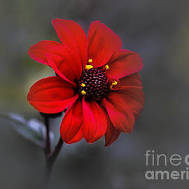 Andrew Brixey - Red Dahlia