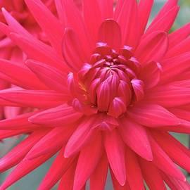 Carol Groenen - Red Dahlia Delight