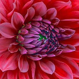 James Steele - Red Dalia up close