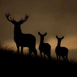 Andy Beattie Photography - Red Deer at dawn