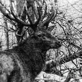 Colin Hunt - Red Deer Black and White Photo Art