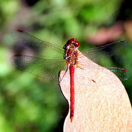 Wild Thing - Red Dragonfly on Bronze Butterfly
