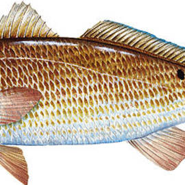Kevin Brant - Red Drum  Redfish