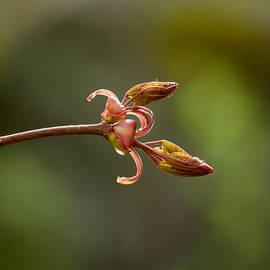 Jouko Lehto - Red Elderberry