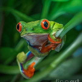 Yasar Ugurlu - Red Eyed Tree Frog