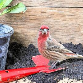 Janette Boyd - Male Red Finch in Spring