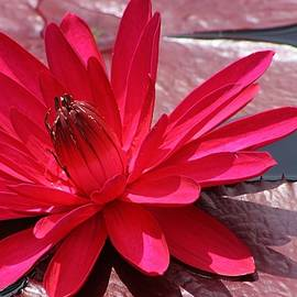 Bruce Bley - Red Flare Water Lily 2