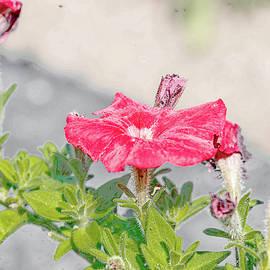 Leif Sohlman - Red flower July