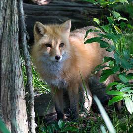 Allan Morrison - Red Fox