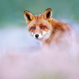 Roeselien Raimond - Red Fox in a Mysterious World
