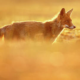 Red Fox in Red Light II - Roeselien Raimond