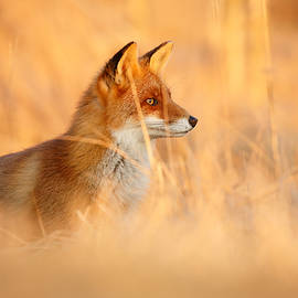 Roeselien Raimond - Red Fox in Red Light