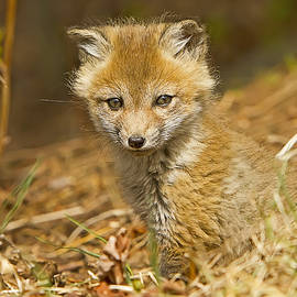 John Vose - Red fox Kit