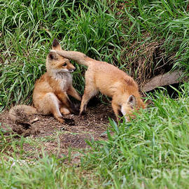 Lori Tordsen - Red Fox Kits