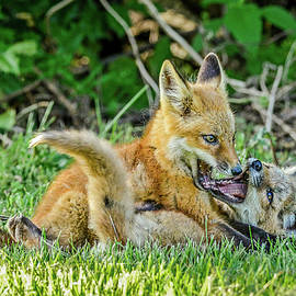 Morris Finkelstein - Red Fox Kits Playing