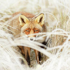 Roeselien Raimond - Red Fox Out of the White