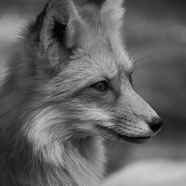 Teresa Wilson - Red Fox Portrait in Black and White
