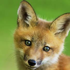 Mircea Costina Photography - Red Fox Pup