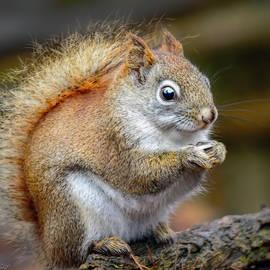 Red Ground Squirrel