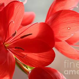 Jackie Tweddle - Crimson Flag Lily Close-up.