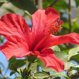 Lorita Montgomery - Red Hibiscus