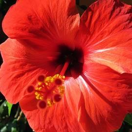 Vesna Martinjak - Red hibiscus