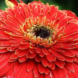 Bruce Bley - Red Hot Gerbera Daisy