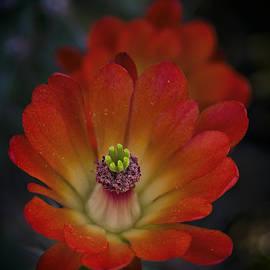 Saija Lehtonen - Red Hot Hedgehog Cactus