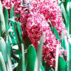 Lali Kacharava - Red Hyacinths