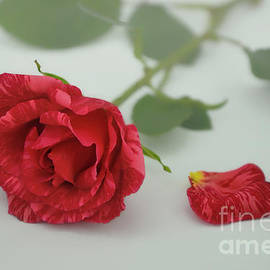 Olga Hamilton - Red Intuition Rose