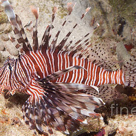 Anthony Totah - Red Lionfish - Pterois volitans