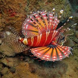 Sergey Lukashin - Red lionfish