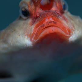 Sami Sarkis - Red-lipped batfish