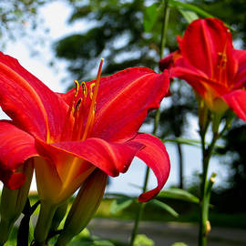 Shawna  Rowe - Red Magic Daylilies