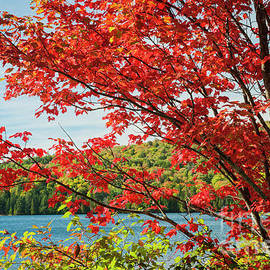 Elena Elisseeva - Red maple on lake shore