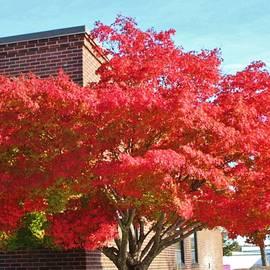 Cynthia Guinn - Red Maple Tree