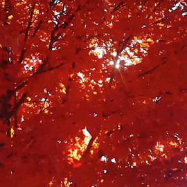 Gardening Perfection - Red Maple Tree