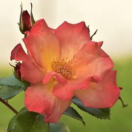 Linda Brody - Red Orange Rose Closeup 3
