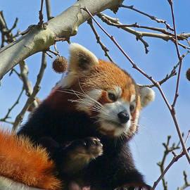 Margaret Saheed - Red Panda Exploring