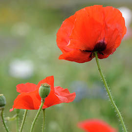 Ann Bridges - Red Poppies
