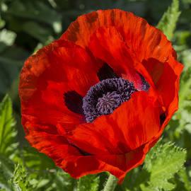 Bruce Frye - Red Poppy