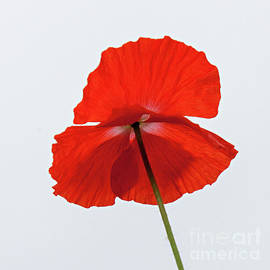Casper Cammeraat - Red Poppy