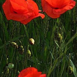 Red Poppy Flowers In Grassland 3