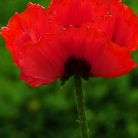 Kathleen Struckle - Red Poppy