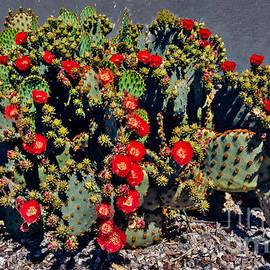 Robert Bales - Red Prickly Pear Cactus