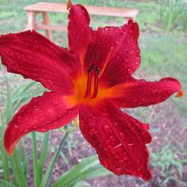 MTBobbins Photography - Red Rain Lily